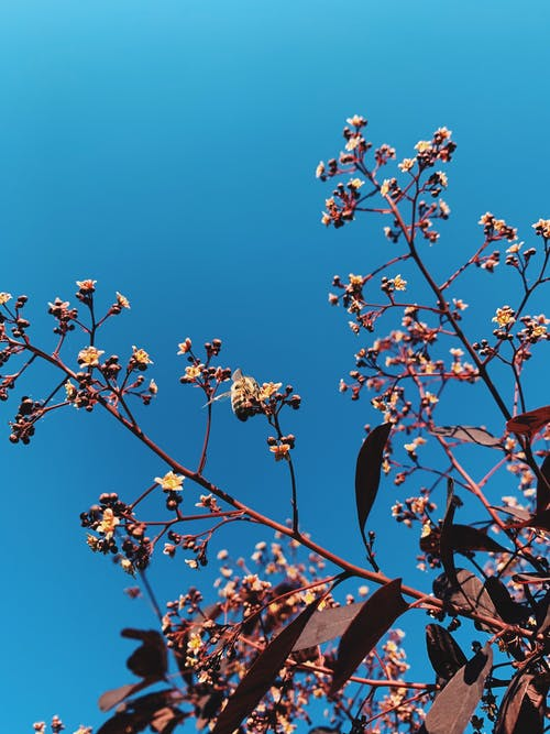 From below of blossoms and buds on thin branches of sakura tree growing in spring garden against bright blue sky