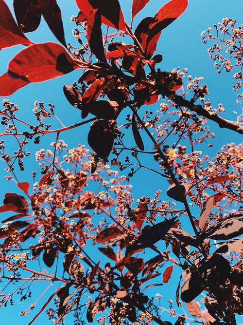 From below of reddish leaves and small gentle pink blossoms of smoke tree growing in park against cloudless blue sky on sunny day