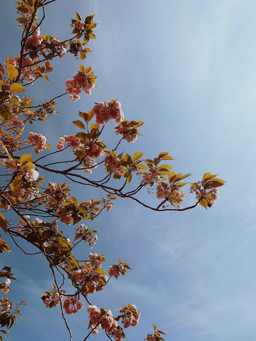 From below of branches with blooming pink flowers of Sakura tree against blue cloudless sky in sunny day