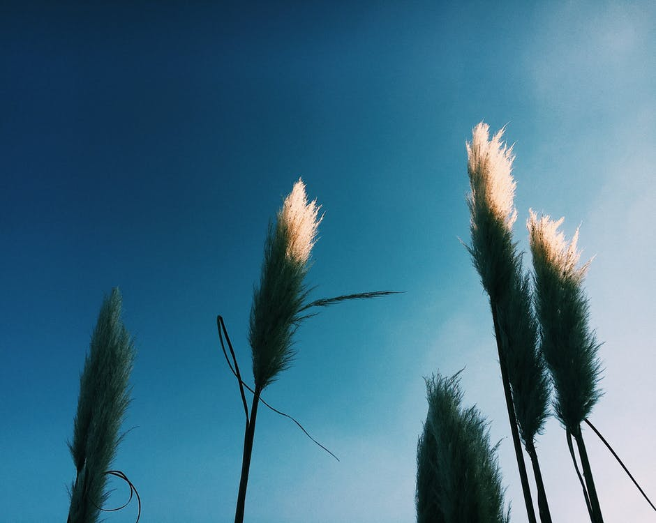 Low angle of Cortaderia plant with thin stalks with leaves and white fluffy panicles on inflorescence growing in nature under blue cloudless sky in sunny day