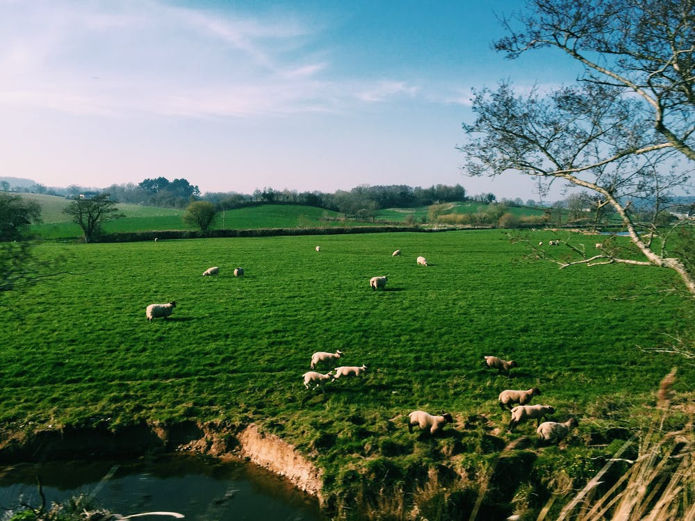 Sheep grazing in green pasture on farmland