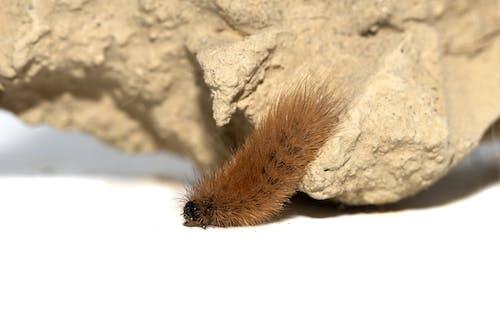Gratis lagerfoto af behåret larve, insekt, insektfotografering
