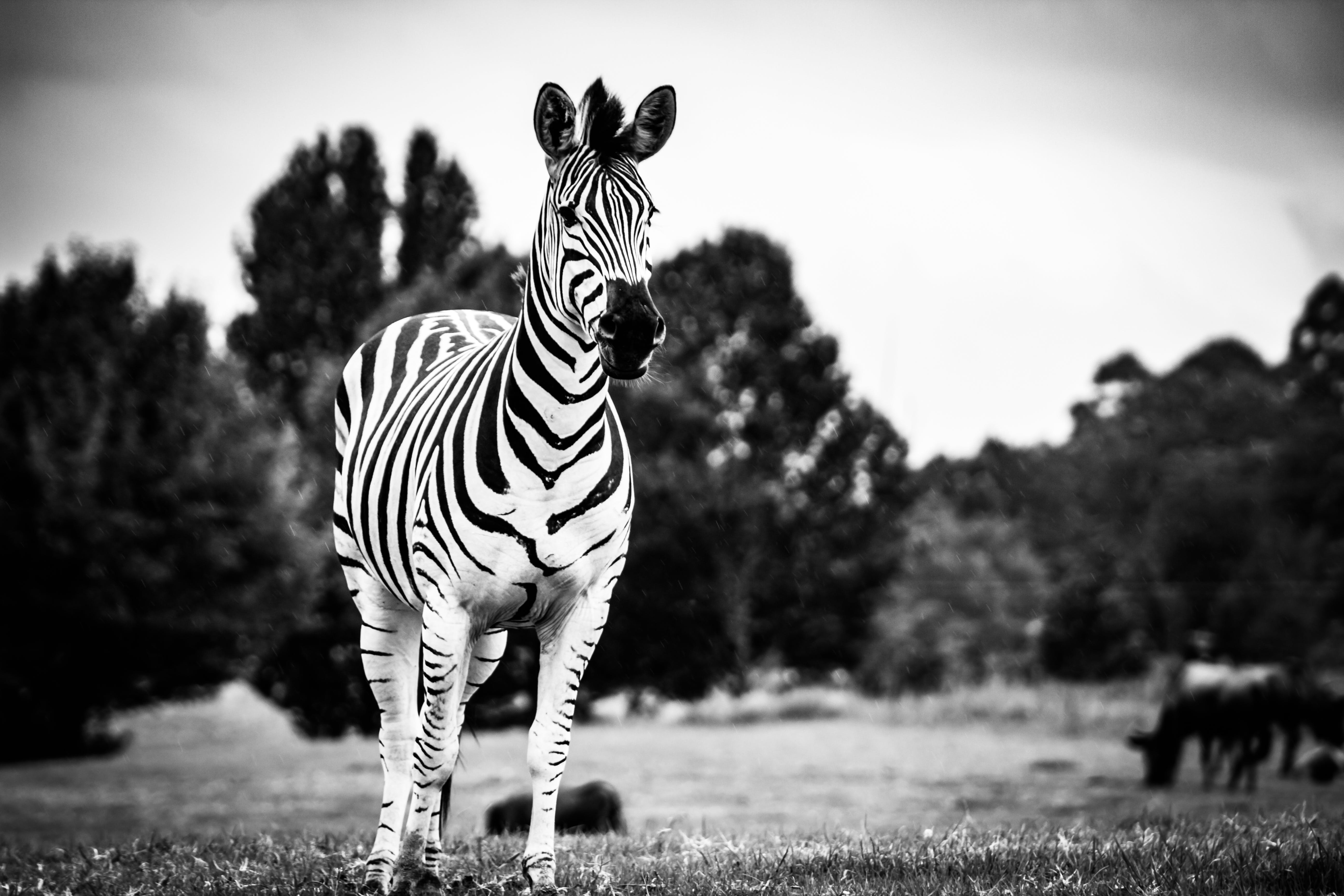 Zebra in Grayscale Photography