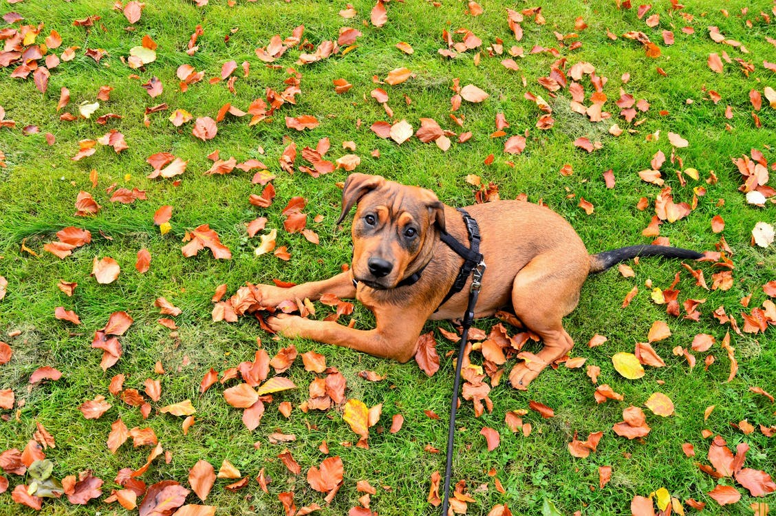 Tan Pit Bull Terrier Puppy