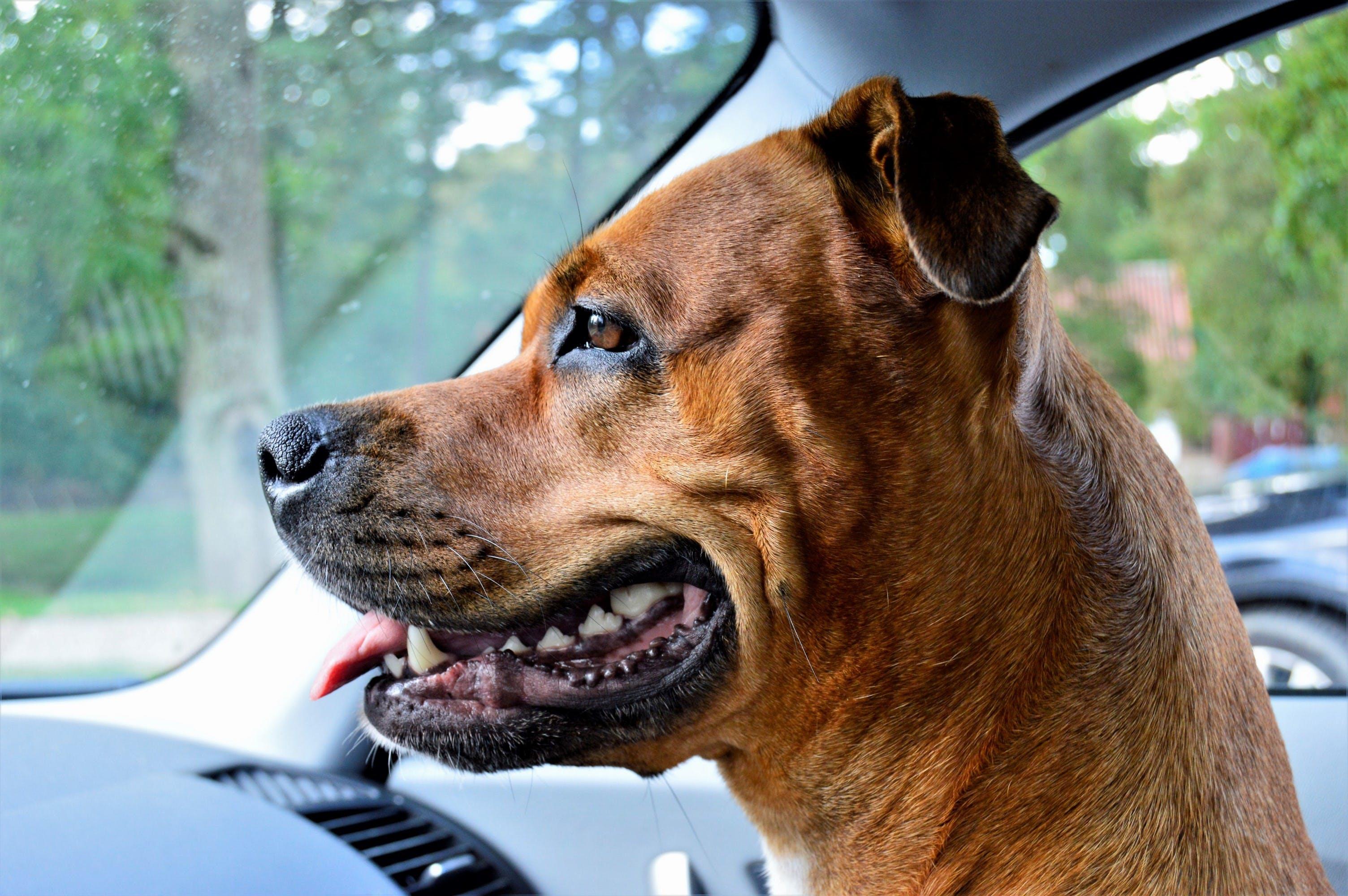 Free stock photo of american staffordshire, amstaff, beautiful, dog