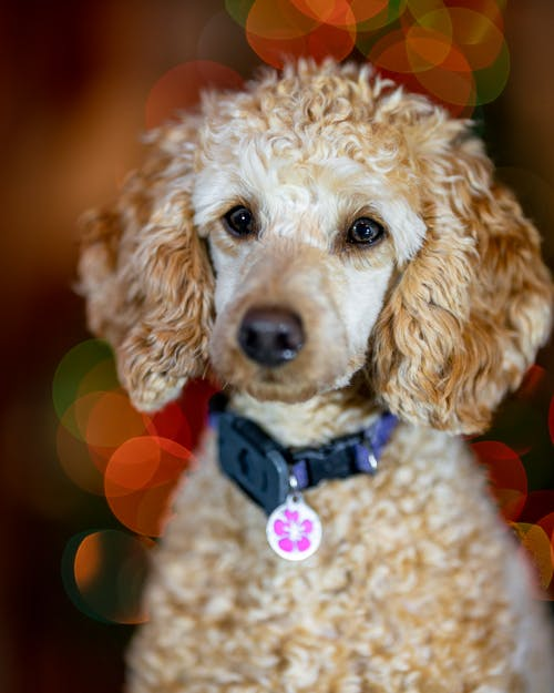 Cute fluffy domestic poodle with shiny eyes and soft ears on blurred background at home