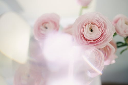 Close-Up Shot of Pink Roses in Bloom