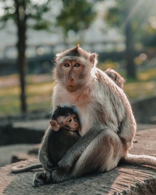 Kostenloses Stock Foto zu affen, flacher fokus, makaken