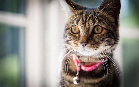 Free stock photo of kitten, cat, stare, tabby