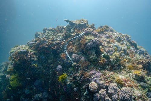 Scenery view of snake with ornament on body swimming over coral reefs in blue ocean