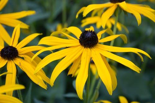 Fotobanka sbezplatnými fotkami na tému blackeyed susan, letné kvety, rudbeckia hirta, trvalky