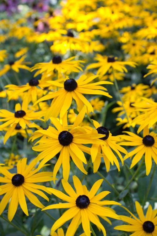 Fotobanka sbezplatnými fotkami na tému letné kvety, pole blackeyed susan, rudbeckia hirta, trvalky