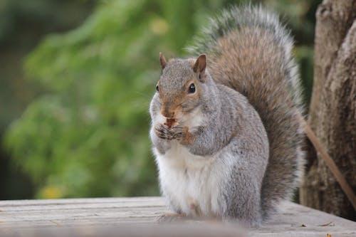 Fotobanka sbezplatnými fotkami na tému veverička, veverička jesť, východná šedá veverička
