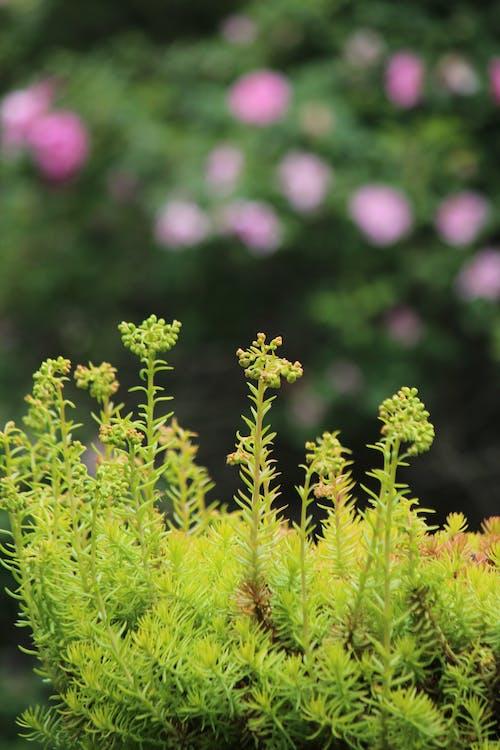 Free stock photo of Sedum 'Angelina', yellow flowers