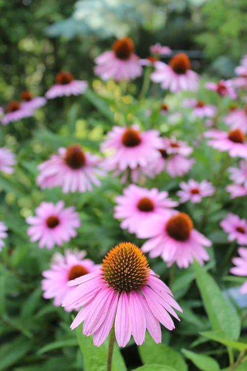Fotobanka sbezplatnými fotkami na tému echinacea purpurea, fialové koneflowery, trvalka, včelí milujúci fialové kvety