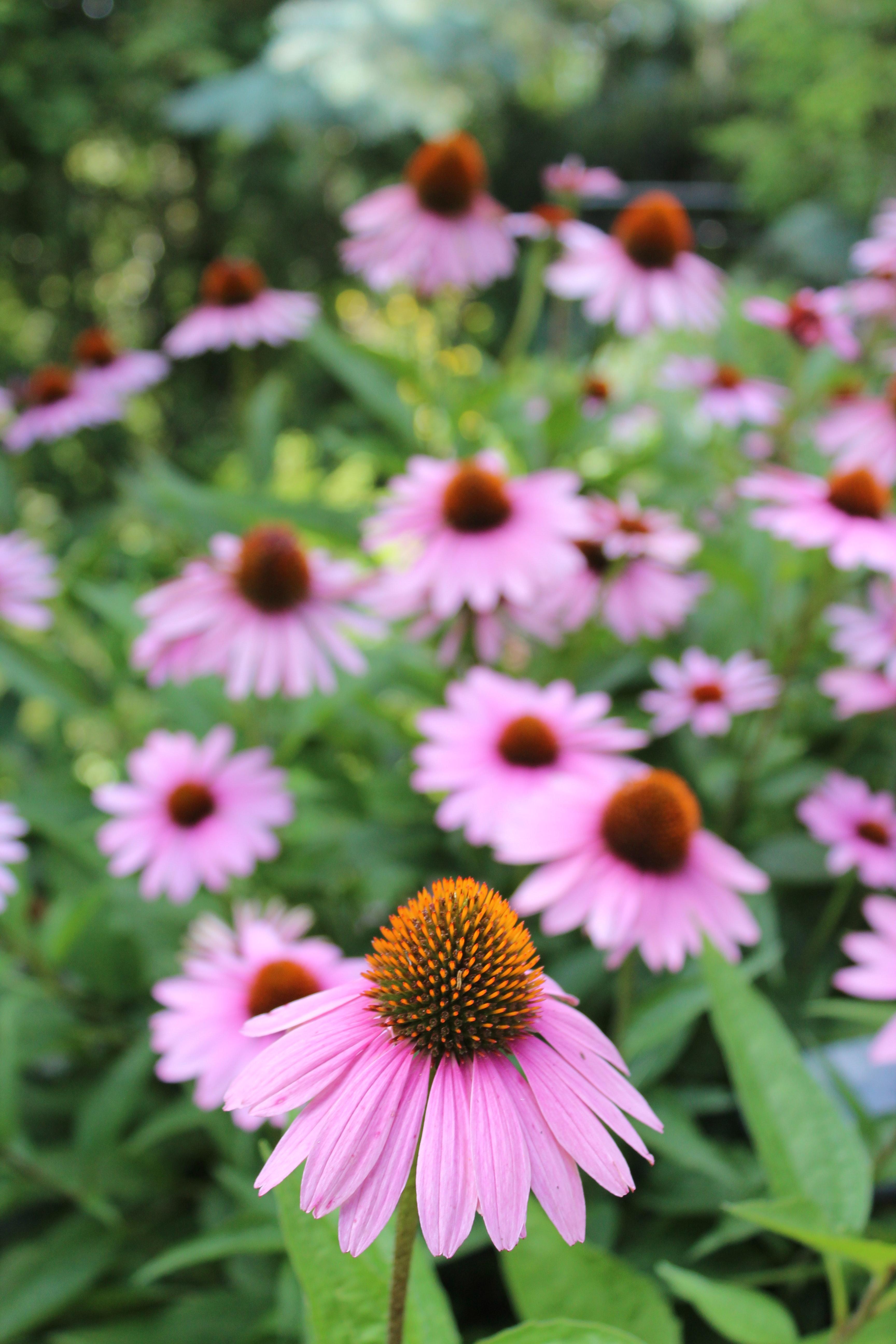 Free Stock Photo Of Bee Loving Purple Flowers Echinacea Purpurea