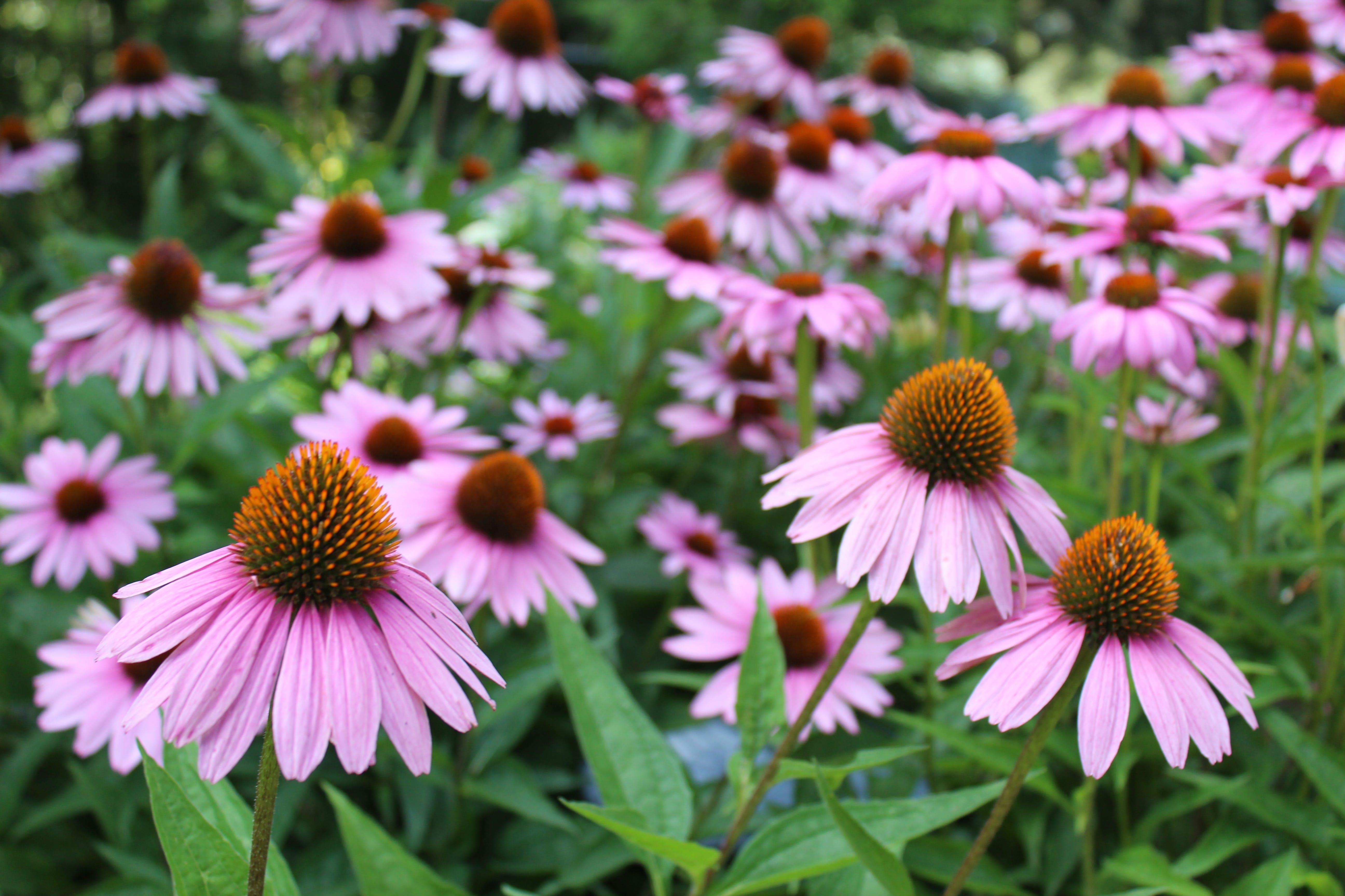 Kostenloses Stock Foto zu ausdauernd, blühen, blumen, blüte