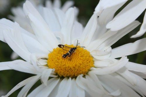 Fotobanka sbezplatnými fotkami na tému hmyz, kvetu a hmyzu, shasta daisy, trvalka