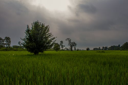 Free stock photo of cloudy sky, cultivation, green, paddy