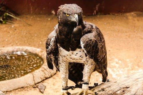Foto profissional grátis de águia, ameaça, animais selvagens