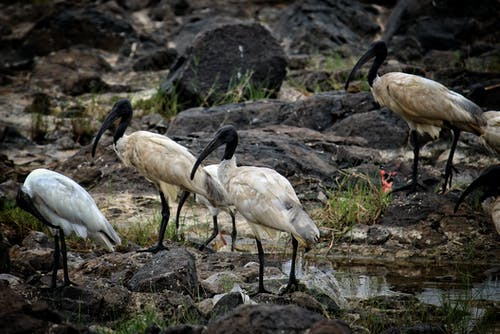 hayvan, ibis, kara başlı ibis, uzun bacaklar içeren Ücretsiz stok fotoğraf