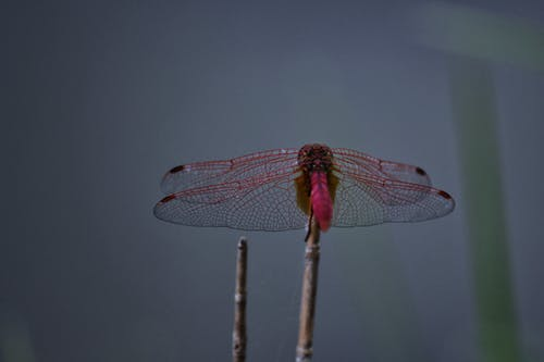 Free stock photo of animal, butterflies, dragonflies, dragonfly