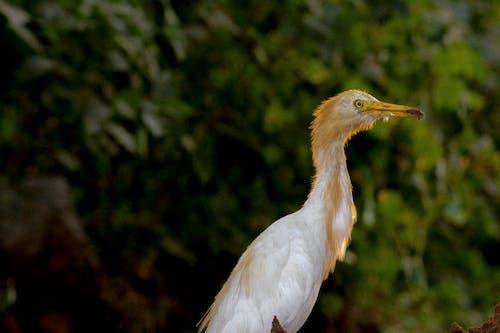 Безкоштовне стокове фото на тему «egrat, Індія, річковий птах, тварина»