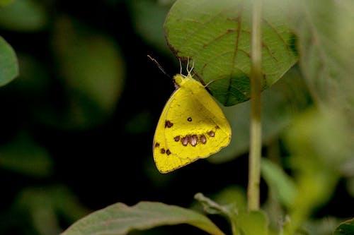 Безкоштовне стокове фото на тему «жовтий, комаха, Метелик, метелик на квітці»