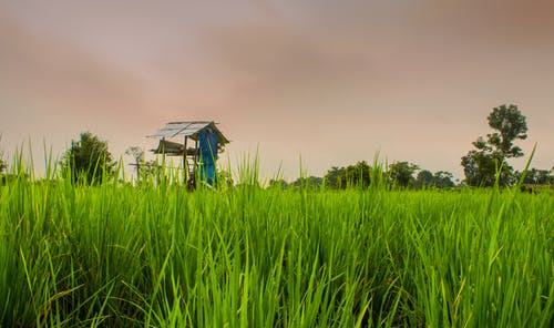 Free stock photo of cultivation, green, paddy, people