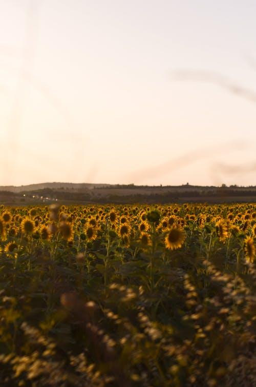 Sunflowers field growing against sundown sky