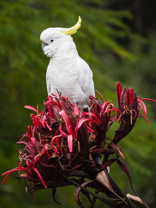 Free stock photo of cockatoo