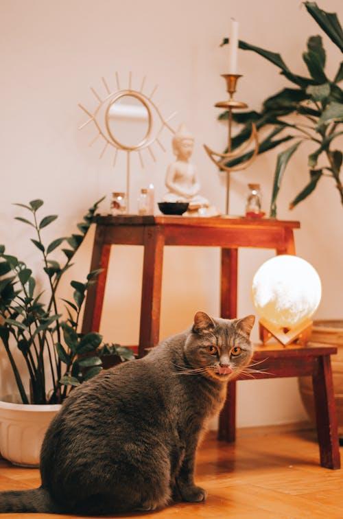 Photos gratuites de à l'intérieur, bois, chaise, chat