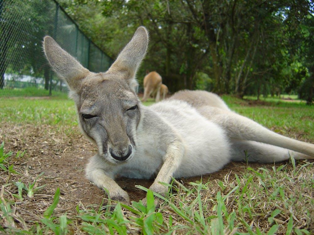 Free stock photo of animal, kangaroo