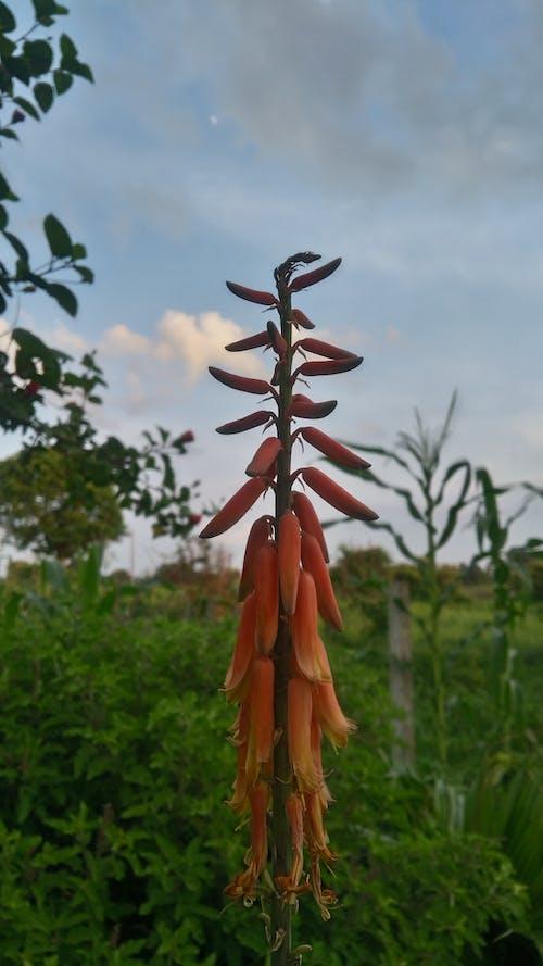 吊鐘花, 美麗的花朵, 蘆薈 的 免费素材照片