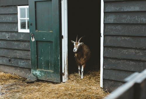 Cute goat with brown and white fur standing in entrance of black barn on farm with straw underfoot at daytime