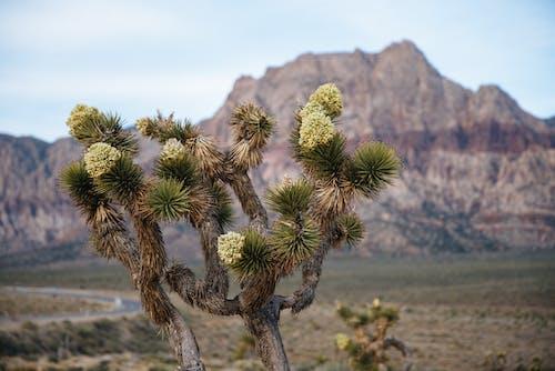 Free stock photo of arid, cactus, color