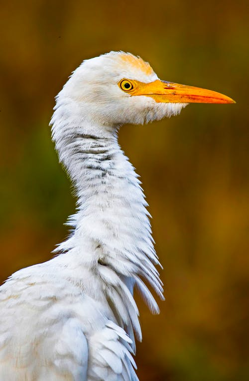 Side view of wild Bubulcus ibis with long neck covered with white plumage standing blurred nature