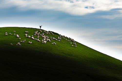 Kostnadsfri bild av djur, får, grön