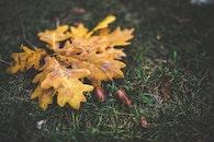 yellow, leaf, leaves
