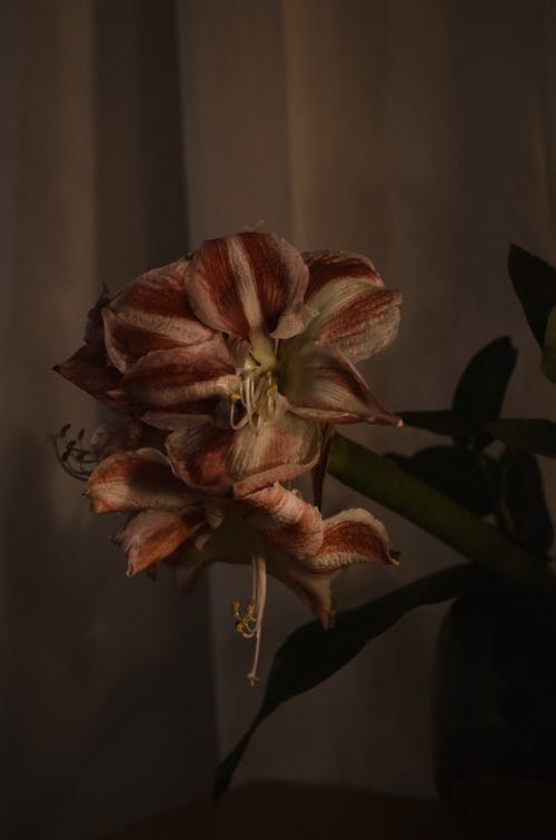 Blossoming tropical flower with ornamental tender petals and pistils growing in house in evening