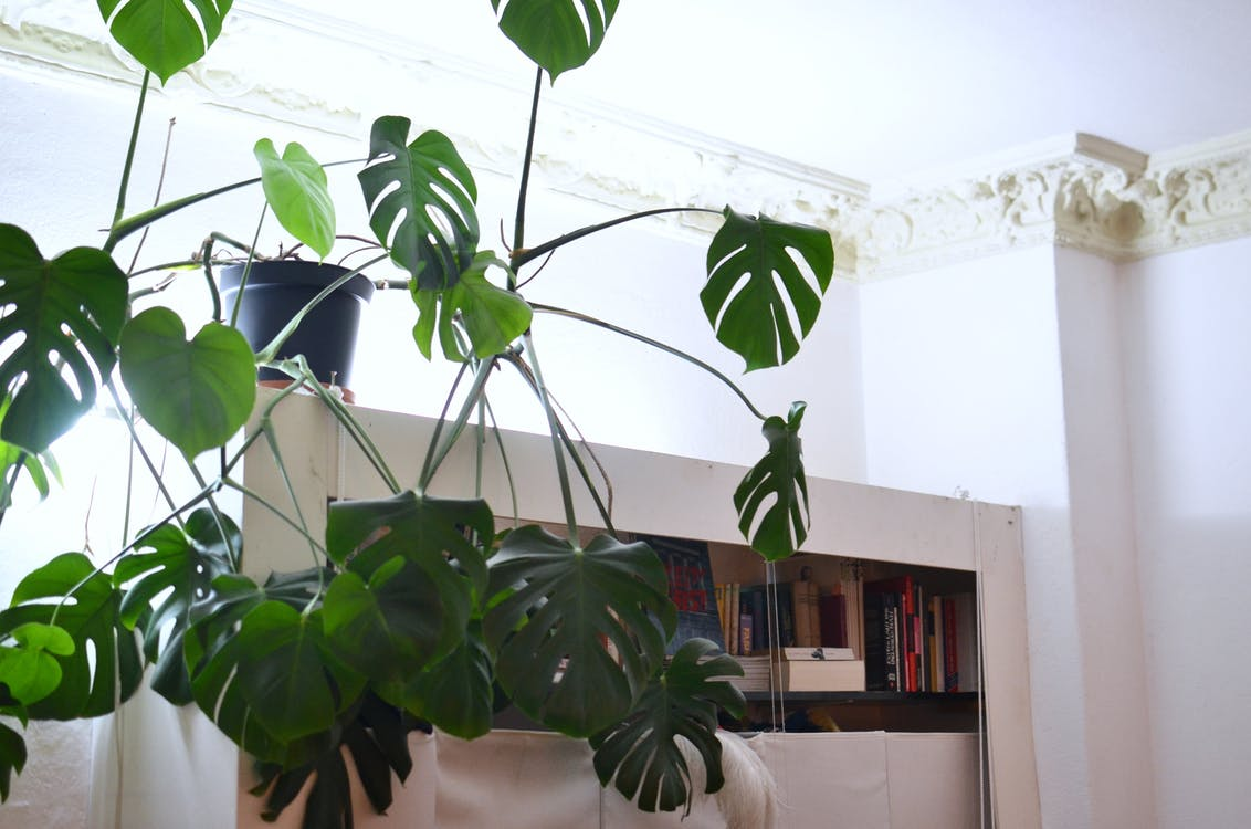 Monstera with lush green leaves growing at home