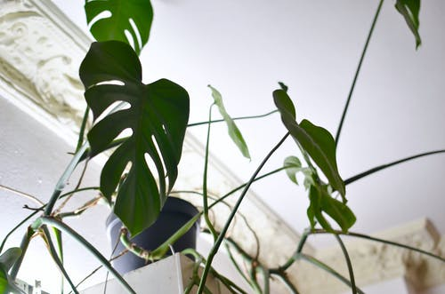 Monstera with ornamental foliage growing at home