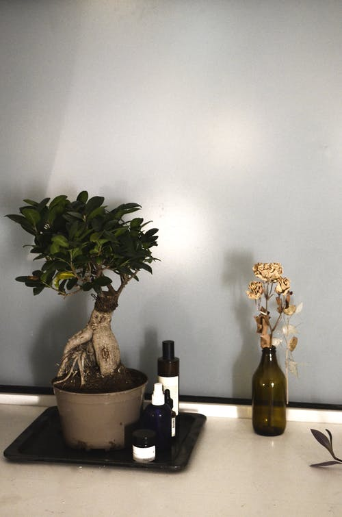 Potted ficus with fresh verdant leaves arranged near dry flowers