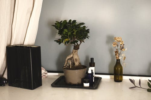 Bonsai ficus with fresh verdant leaves and roots in pot arranged with glass bottle of dry flowers