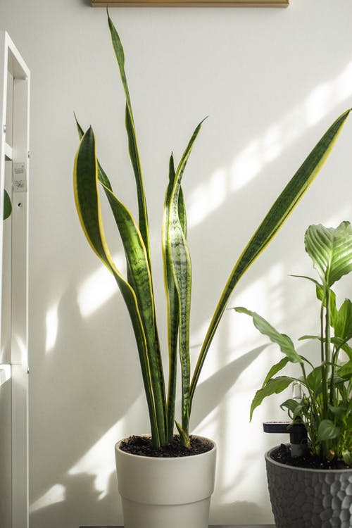 Snake plant with wavy foliage near potted plant against wall with shadows in house on sunny day