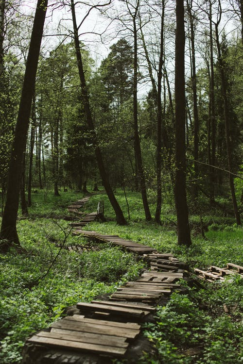 Shabby wooden path in lush forest