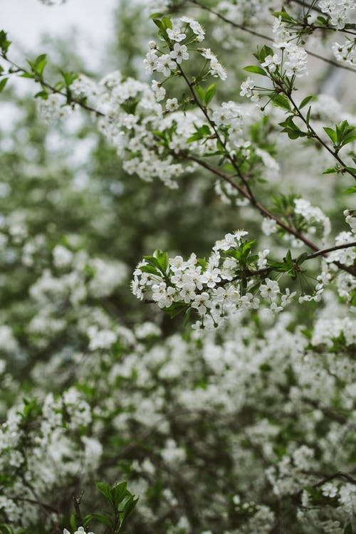 Scenery of fragrant cherry tree with white blooming flowers growing in verdant spring garden