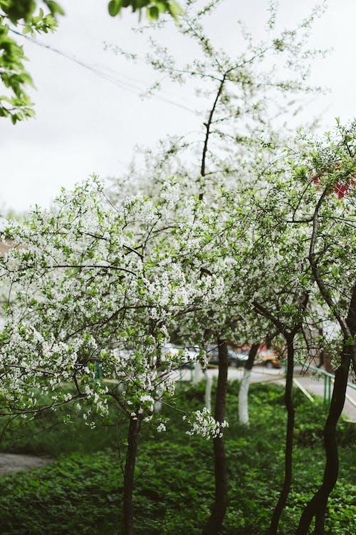 Blooming cherry tree in lush garden