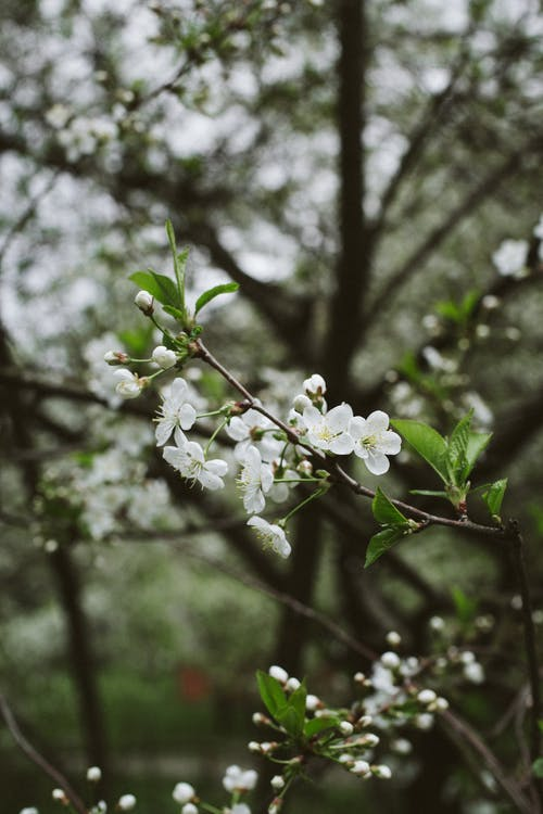 Blossoming fragrant cherry tree with white delicate flowers growing in lush green garden on warm spring day