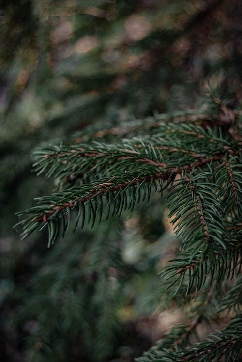 Close-Up Shot Pine Leaves